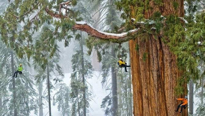 Cái cây 3.200 tuổi lần đầu tiên được chụp trọn trong một bức ảnh vì... quá khổng lồ!