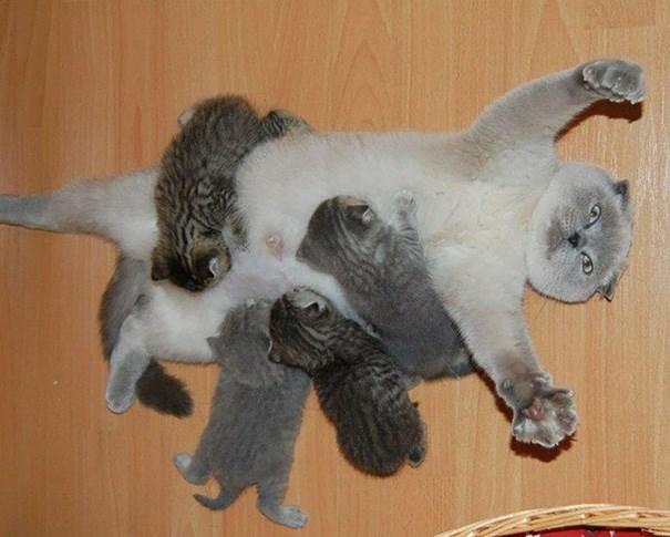 Bộ ảnh dễ thương khi mèo trở thành các ông bố và bà mẹ