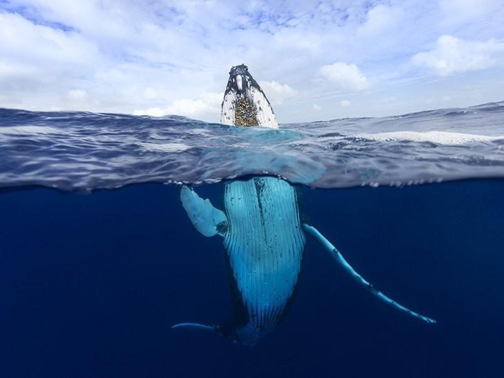 Cá voi lưng gù, Tonga